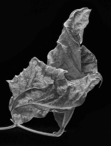 Phaseolus coccineus (Scarlet Runner Bean)