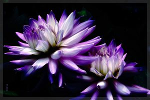 "25. David Watkins Jr Dahlia Victoria Digital Photograph on Metal 12"" x 8"" Retail Value $ 95.00"