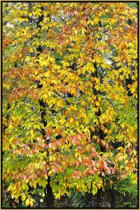 """David Watkins Jr • <em>Beech, Fall Color, 10/2011, Park Loop Road, Acadia</em> • Archival pigment on canvas • 20""""×30"""" • $325.00<a class=""""purchase"""" href=""""https://state-of-the-art-gallery.square.site/product/david-watkins-jr-beech-fall-color-10-2011-park-loop-road-acadia/322"""" target=""""_blank"""">Buy</a>"""