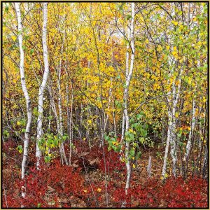 """David Watkins Jr • <em>Birch Clump and Lowbush Blueberry,10/2016, Acadia</em> • Archival pigment on canvas • 30""""×30"""" • $425.00<a class=""""purchase"""" href=""""https://state-of-the-art-gallery.square.site/product/david-watkins-jr-birch-clump-and-lowbush-blueberry-10-2016-acadia/323"""" target=""""_blank"""">Buy</a>"""