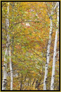 """David Watkins Jr • <em>Twin Birch, Park Loop Road, 10/2014, Acadia</em> • Archival pigment on canvas • 20""""×30"""" • $325.00<a class=""""purchase"""" href=""""https://state-of-the-art-gallery.square.site/product/david-watkins-jr-twin-birch-park-loop-road-10-2014-acadia/325"""" target=""""_blank"""">Buy</a>"""