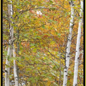 """David Watkins Jr • <em>Twin Birch, Park Loop Road, 10/2014, Acadia</em> • Archival pigment on canvas • 20""""×30"""" • $325.00 • <a class=""""purchase"""" href=""""https://state-of-the-art-gallery.square.site/product/david-watkins-jr-twin-birch-park-loop-road-10-2014-acadia/325"""" target=""""_blank"""">Buy</a>"""