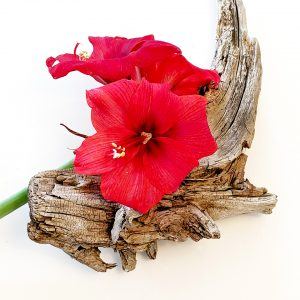 Nancy Ridenour • <em>Amaryllis on Driftwood</em> • Digital image • $150.00