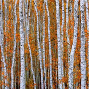 "Daniel McPheeters • <em>Autumn Aspens</em> • Mixed media on panel • 24""×17"" • NFS"