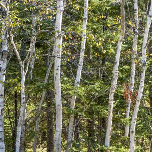"David Watkins Jr • <em>Aspen, Birch and Fir</em> • Archival pigment print • 13""×9"" • $185.00"