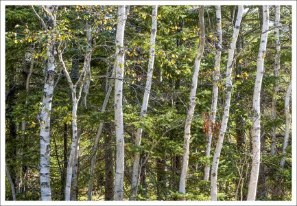 """David Watkins Jr • <em>Aspen, Birch and Fir</em> • Archival pigment print • 13""""×9"""" • $185.00<a class=""""purchase"""" href=""""https://state-of-the-art-gallery.square.site/product/david-watkins-jr-aspen-birch-and-fir/428"""" target=""""_blank"""">Buy</a>"""